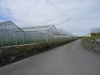 Uprawy szklarniowe na Guernsey