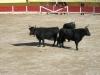 Byki ustawione w szyku bojowym
