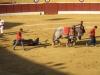 Konie ściągaja martwego byka z areny