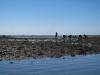 Poszukiwacze muszli w Ria Formosa przy odpływie