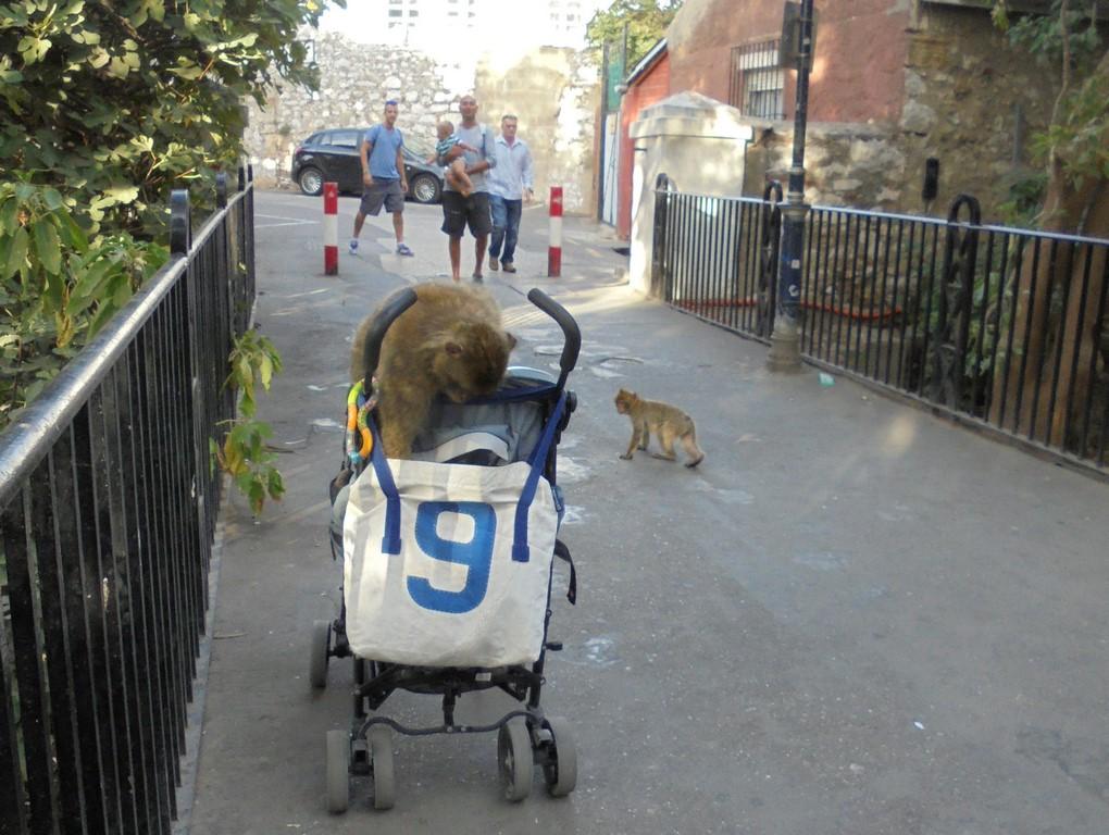 Małpy zaatakowały wózek