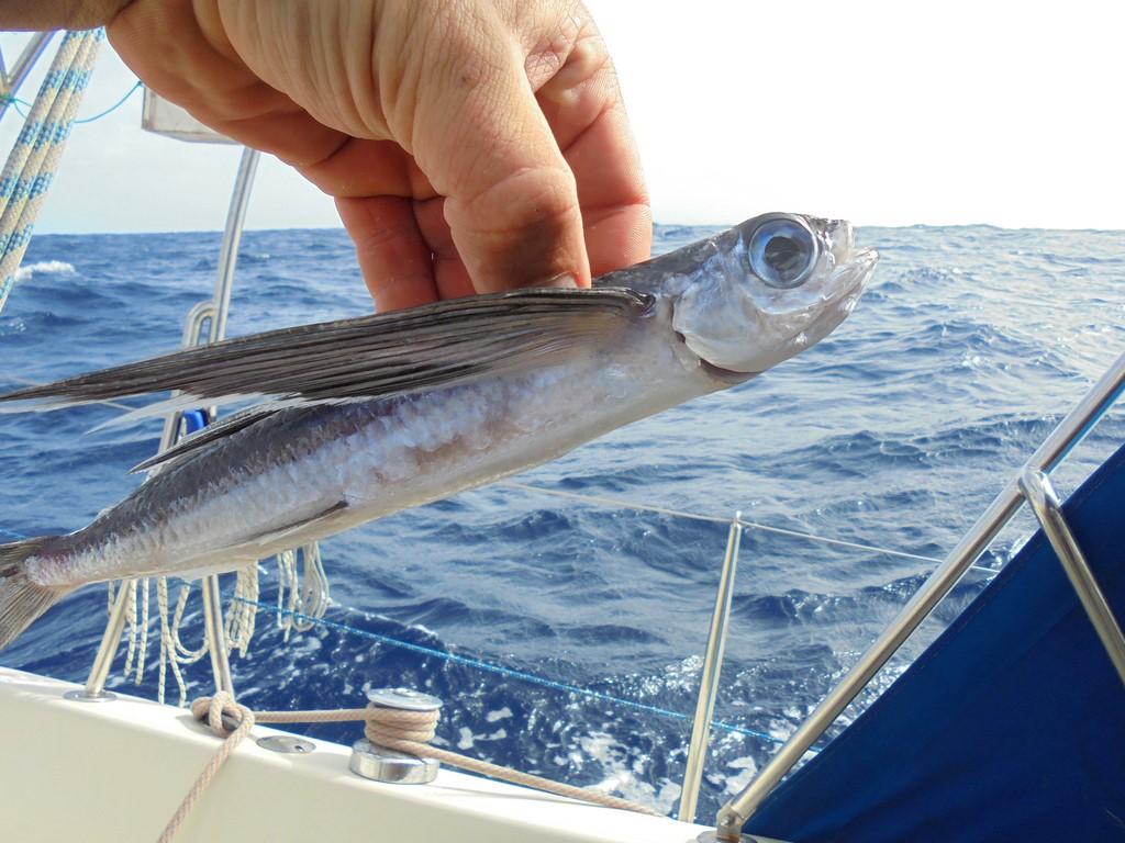 Latająca ryba