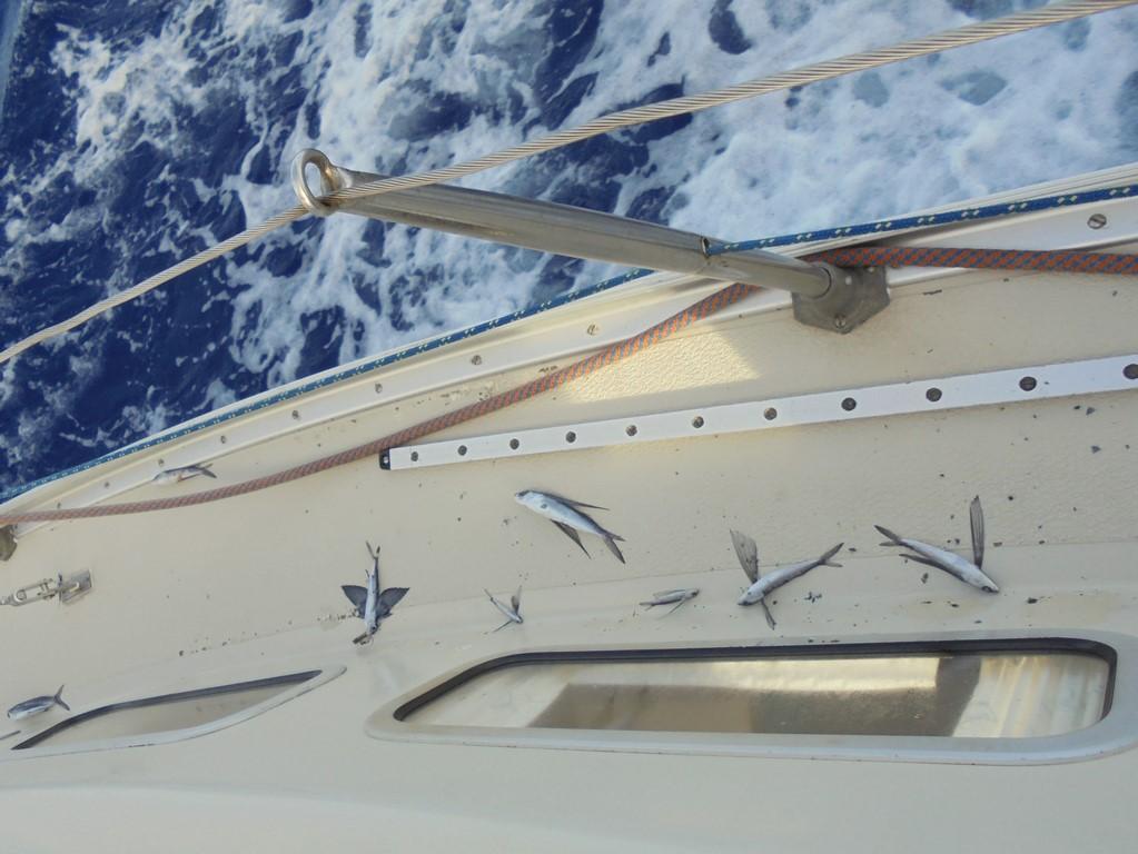 Poranne zbiory - latające ryby