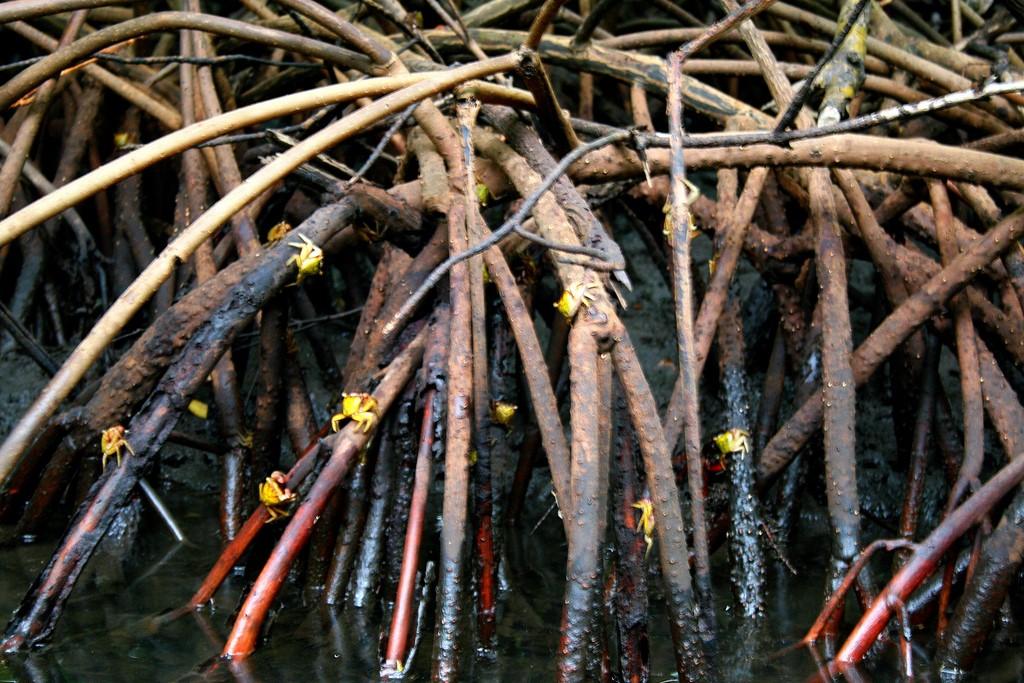 Kraby drzewne w mangrowcu