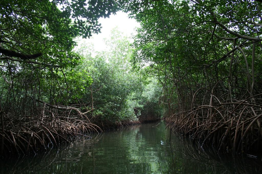 Mangrowiec
