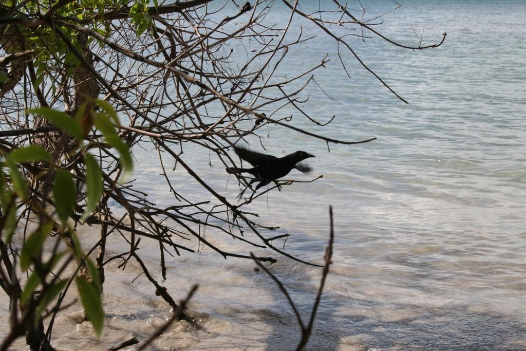 Ptaki mangrowca
