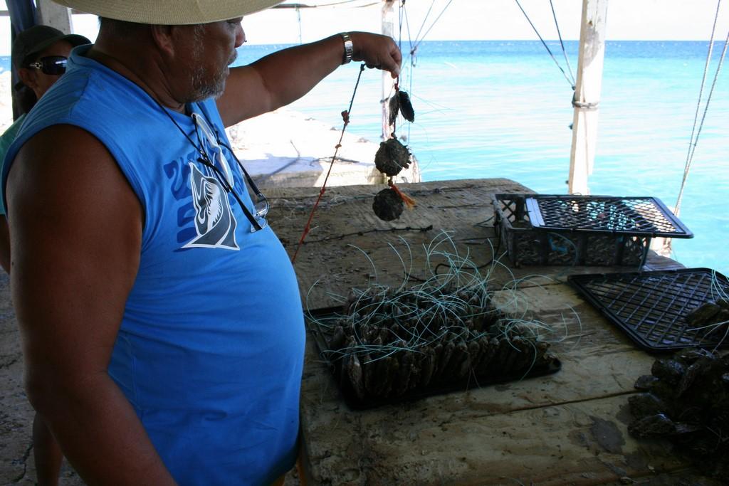 Ostrygi po graftingu gotowe do powieszenia w klatce