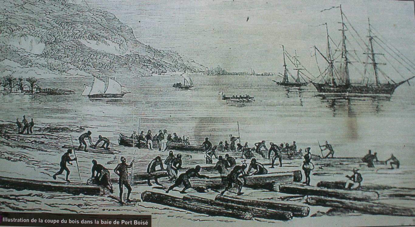 Wycinka araukarii w Port Boisé na Nowej Kaledonii