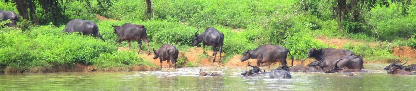 Bawoły wodne w Udawalawe National Park