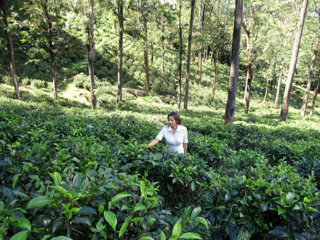 Plantacja herbaty koło Kandy