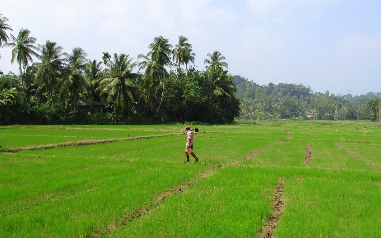 Pola ryżowe Sri Lanki