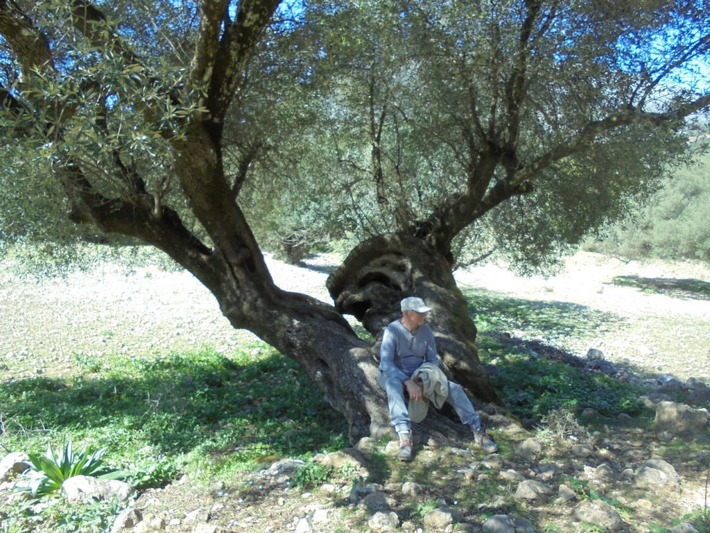Sędziwa oliwka na Kefalonii